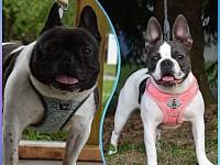 French bulldog x Boston terrier hybrid puppies